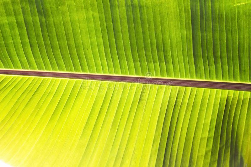 Texture abstract background of backlight fresh green banana tree leaves. Macro image beautiful vibrant tropical pointy leaf foliag stock photo