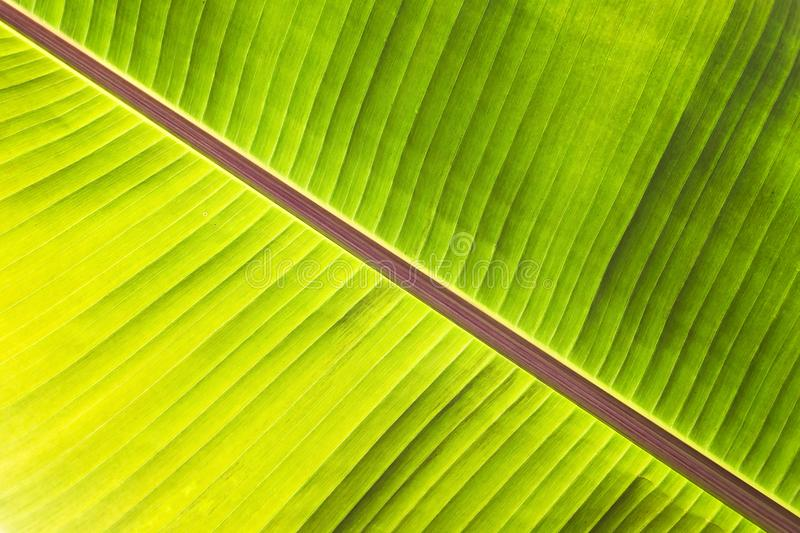 Texture abstract background of backlight fresh green banana tree leaves. Macro image beautiful vibrant tropical pointy leaf foliag. E plant background texture stock image