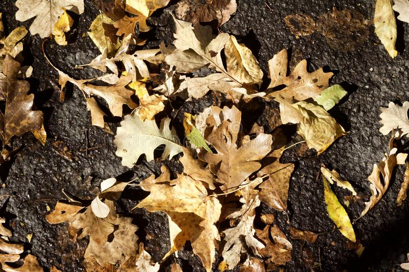 Texture abstract background of fallen dry oak leaves on asphalt. This texture abstract background shows fallen dry oak leaves on an asphalt road in autumn royalty free stock image
