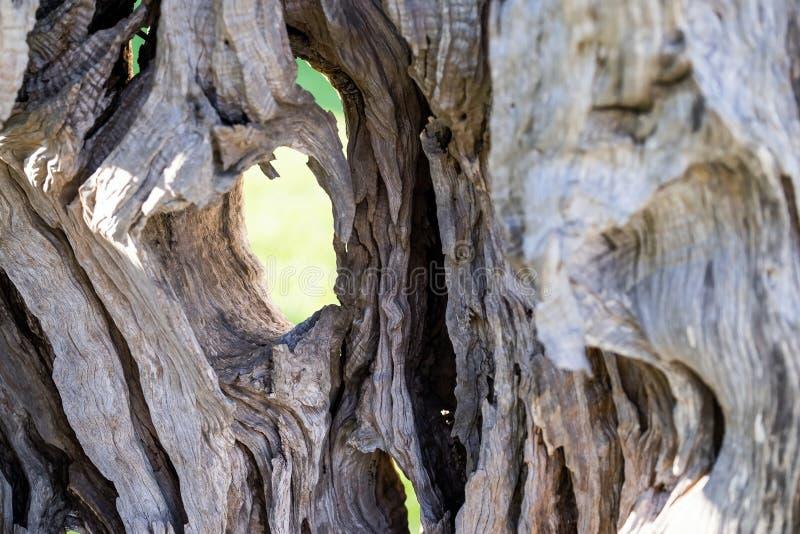 Texture abstraite d'un tronc un vieil olivier photos libres de droits