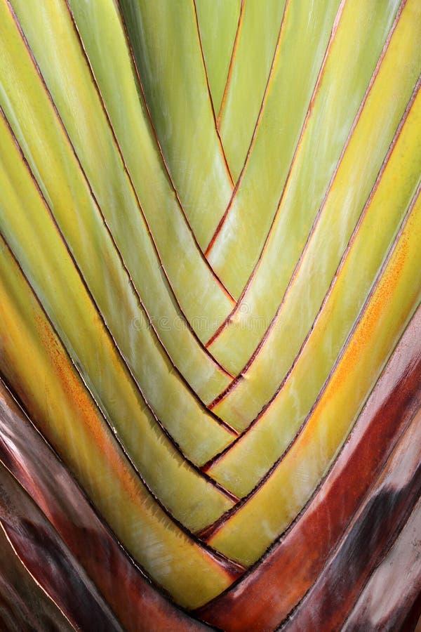 Texture abstraite de branches de palmier (paume de voyageurs) photo stock