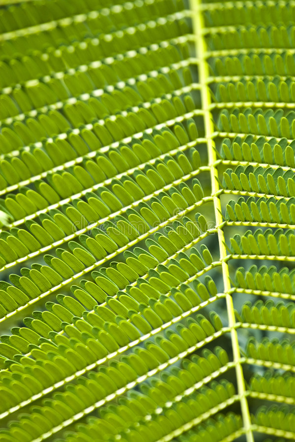 Download Texture Of Acacia Leaves. Royalty Free Stock Images - Image: 7274669
