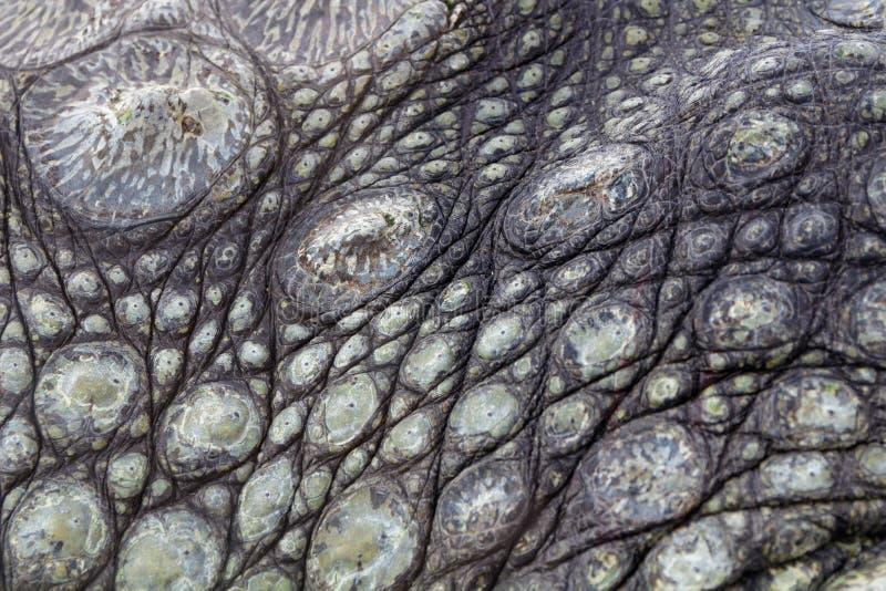 Texture approximative de peau d'alligators photographie stock