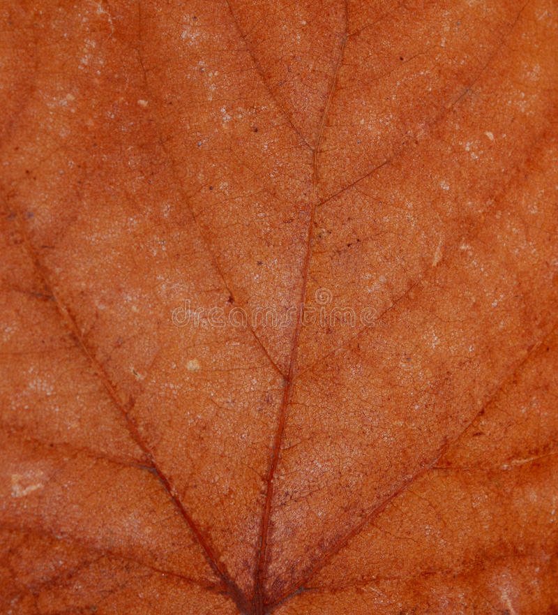 Texture of autumn leaf royalty free stock images