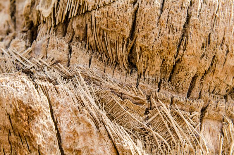 Texture background abstraction bark wood fibers of palm tree clo. Se-up royalty free stock image