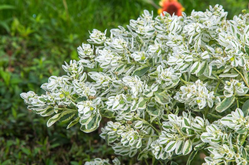 Texture background. Euphorbia marginata commonly known as snow-on-the-mountain, smoke-on-the-prairie, variegated spurge, or white stock photography