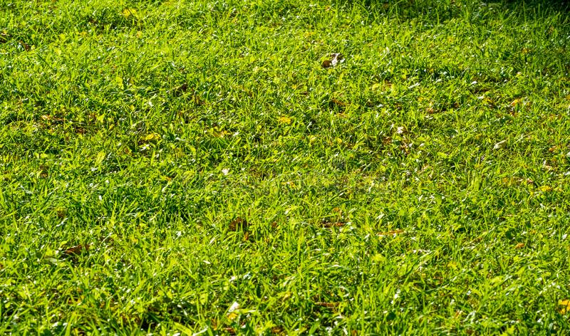Texture, background, pattern, grass on the lawn, green saturated color. motley grass. Texture, background, pattern, grass on the lawn, green saturated color stock photography