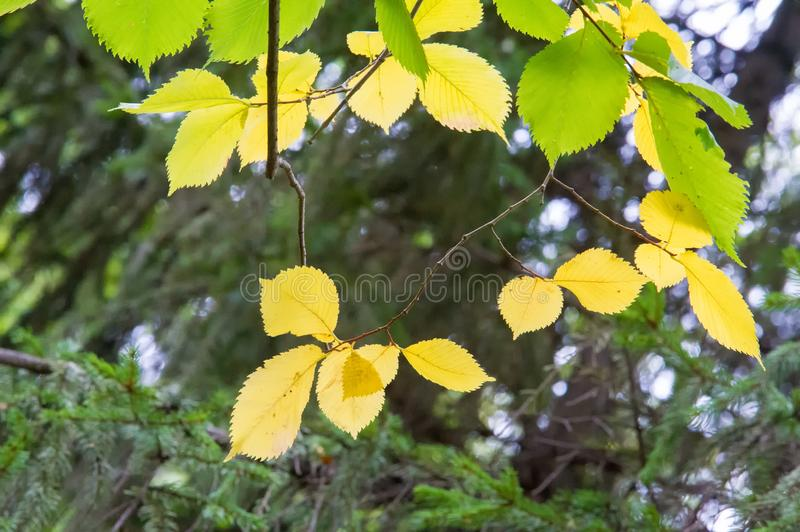 Texture, background, pattern. Summer Autumn The leaves are brightly colored in yellow red. stock photos