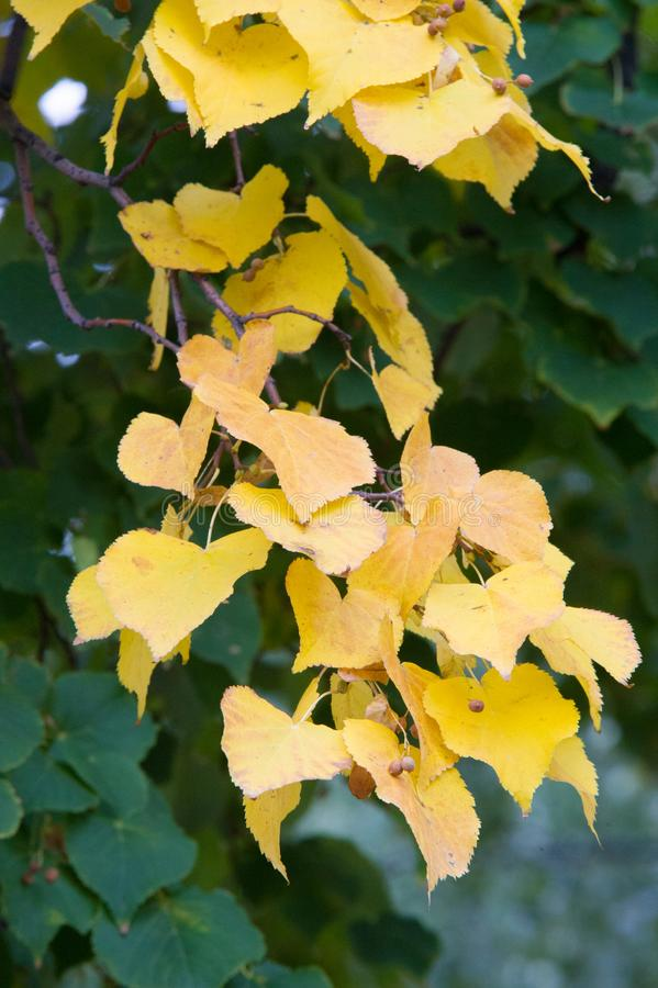 Texture, background, pattern. Summer Autumn The leaves are brightly colored in yellow red. stock image