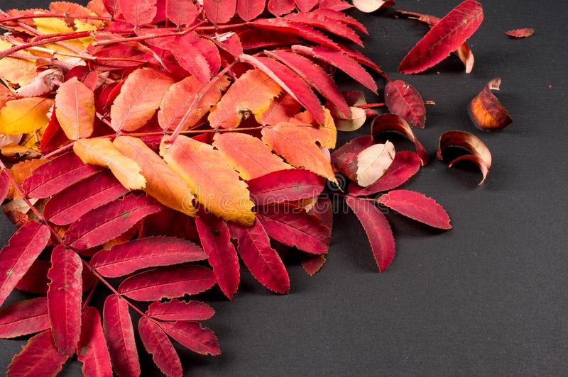 Texture, background, pattern. Summer Autumn The leaves are brightly colored in yellow red. royalty free stock photos