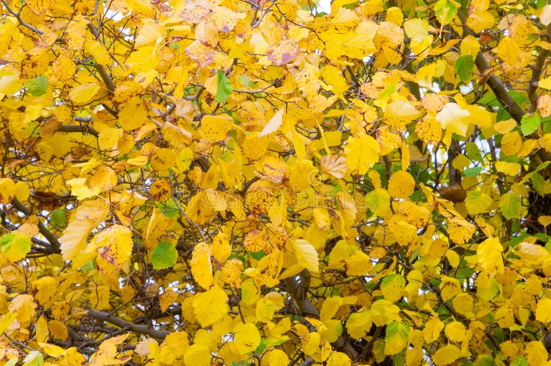 Texture, background, pattern. Summer Autumn The leaves are brightly colored in yellow red. stock images