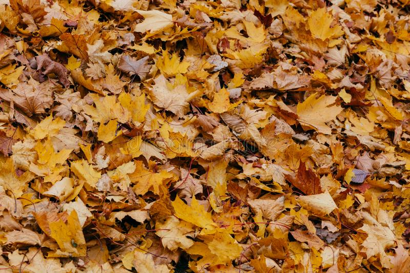 Texture, background or pattern. Yellow autumn maple leaves on ground. Orange foliage. October or November. Environment royalty free stock photos