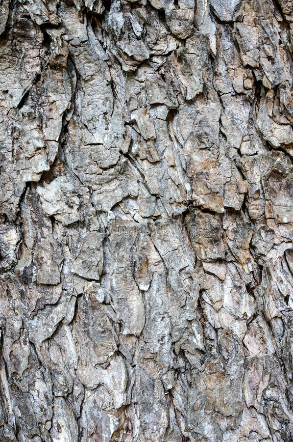 Texture and background of tree bark, old wooden bark crack natural texture, Skin bark of a tree that traces cracking background royalty free stock image