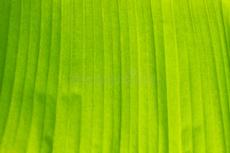 Texture of banana leaf royalty free stock photography