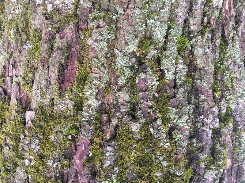 Texture bark of a large tree. Abstraction. Abstract texture composition of a large tree bark. Mold and growths on oak bark. Abstraction. Wildlife. Dense forest stock photography