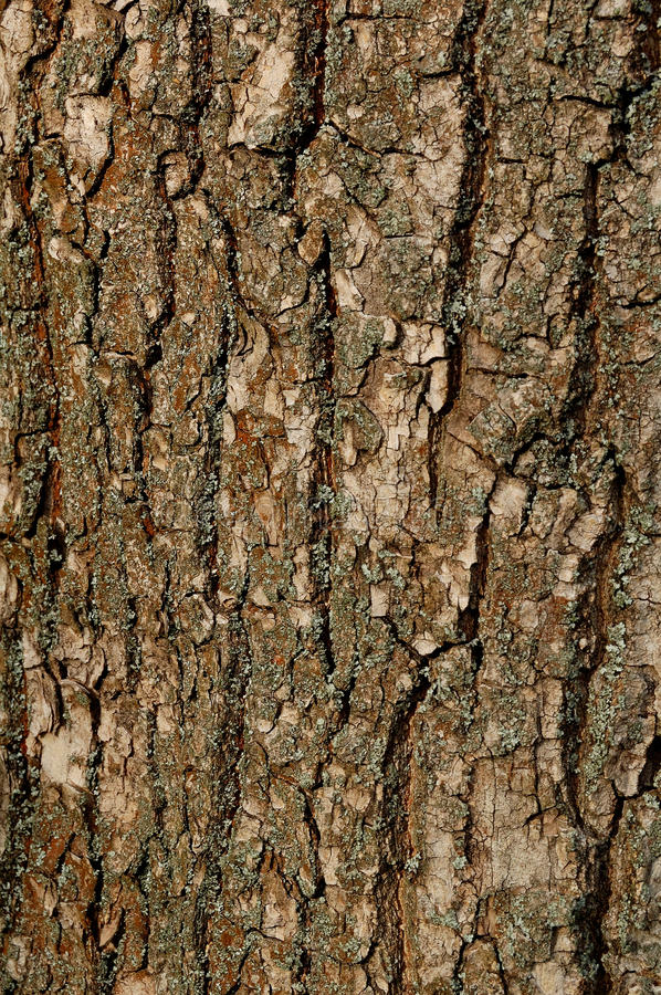 Texture of a Bark of an Old Oak Tree. Background Pattern stock photos