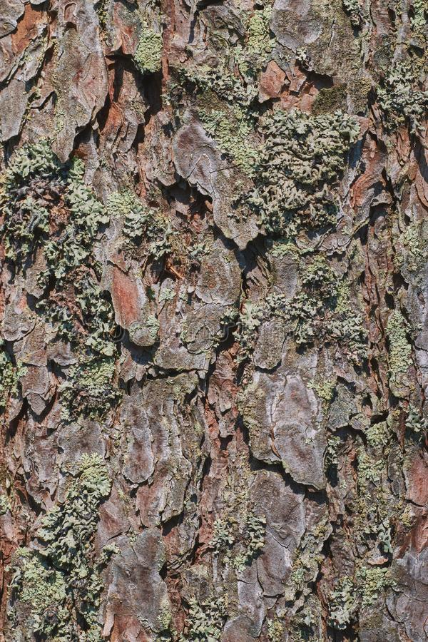 The texture of the bark of an old tree with green moss. vertical view. background from tree bark for design stock images
