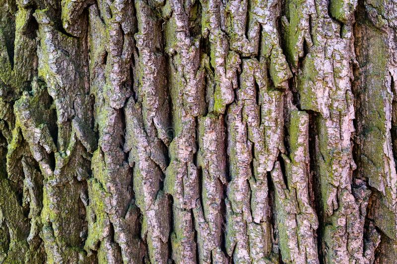 Texture of bark wood use as natural background, natural stock image