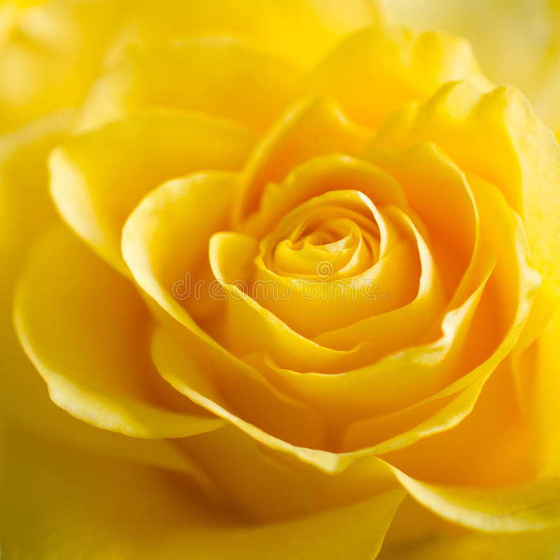 The Texture of Beautiful Yellow Rose Close Up. Selective focus royalty free stock photography