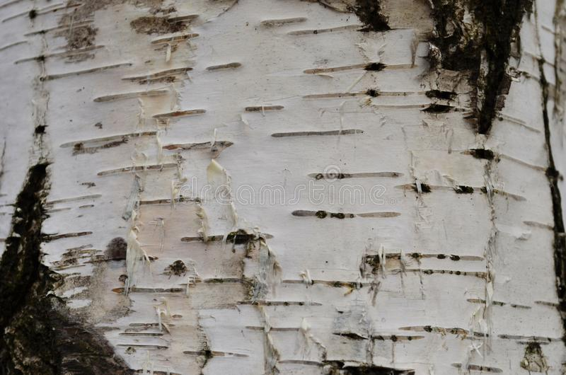 Texture birch bark, trunk birch background royalty free stock photos