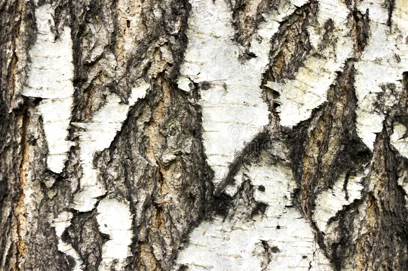 The texture of the birch stock photos