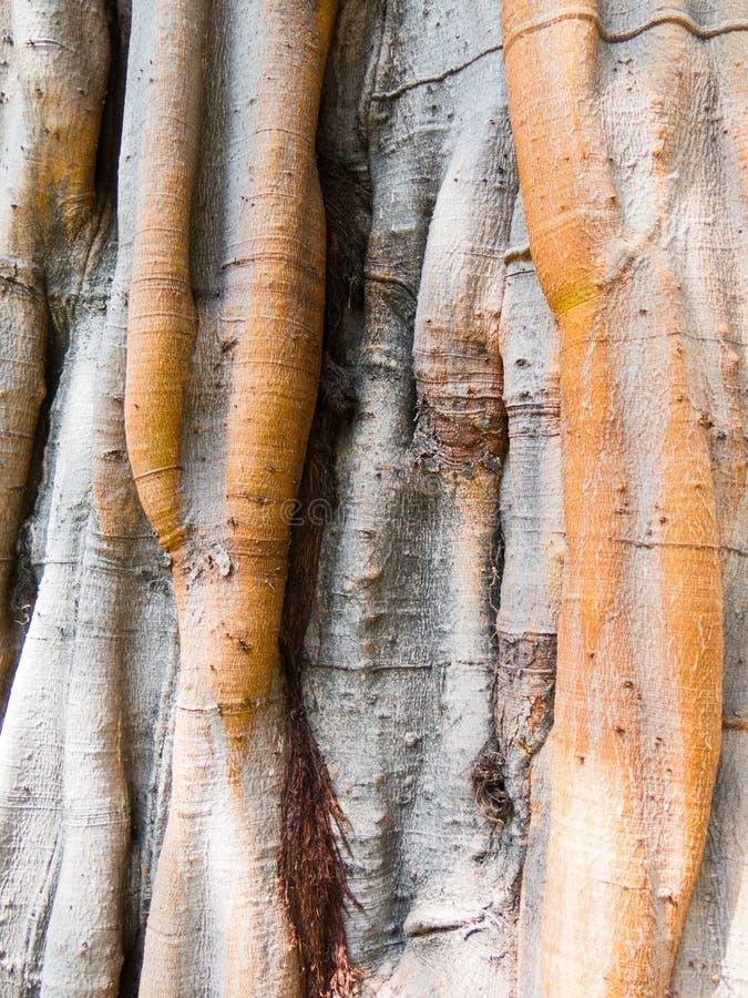 Texture of Bodhi Tree trunk stock photo
