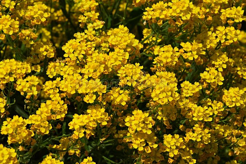 Texture of bright yellow flowering alpine plant flowers royalty free stock image