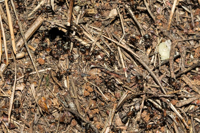 Texture of a brown natural forest anthill with ants a lot of small insects in the forest, wildlife background. Texture of a brown natural forest anthill with stock photos