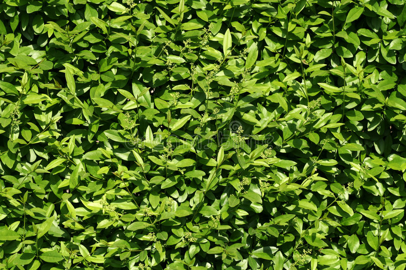Download Texture of bush leaves stock image. Image of leaf, closeup - 5624741