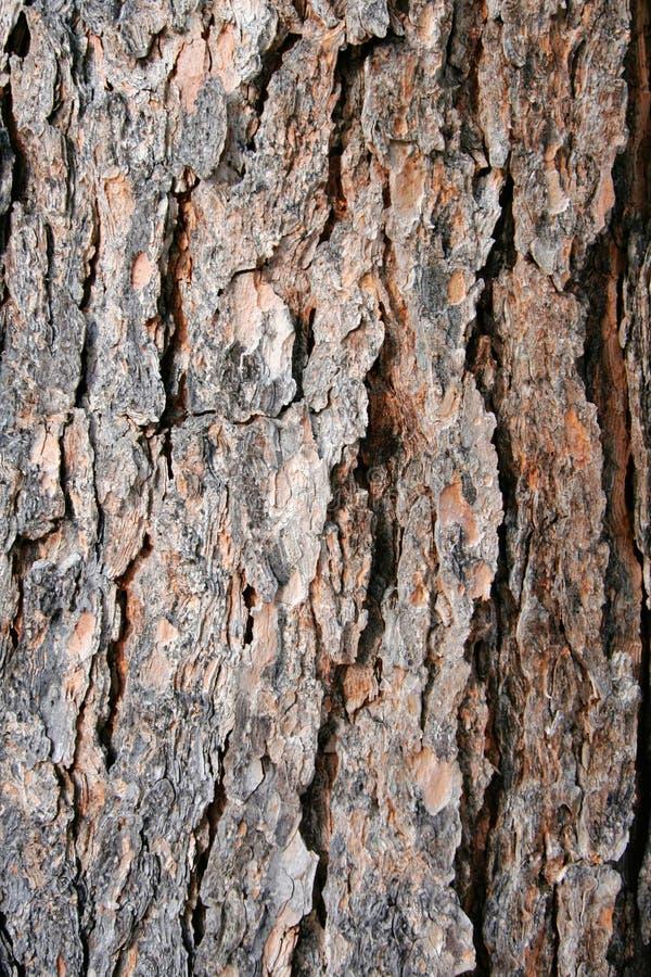 Texture a casca de árvore do pinho foto de stock royalty free