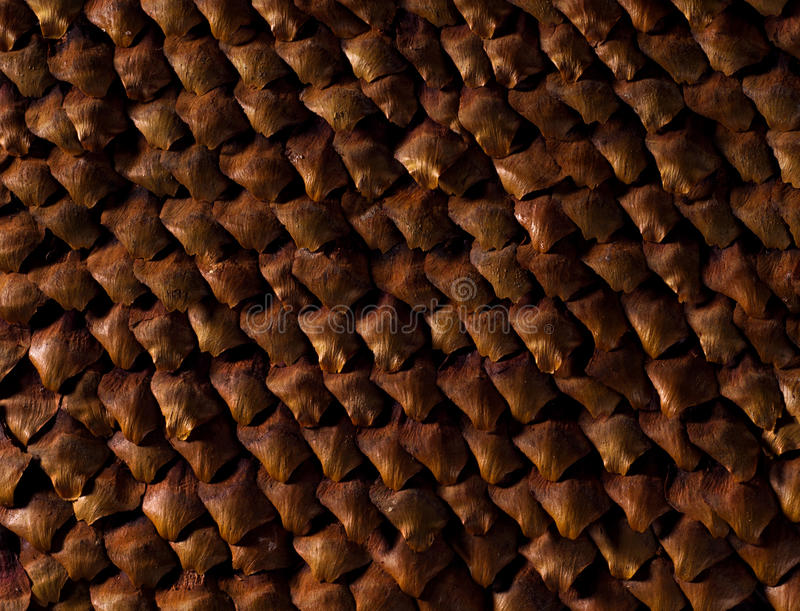 Texture of closeup pinecone. A texture of closeup pinecone royalty free stock photography