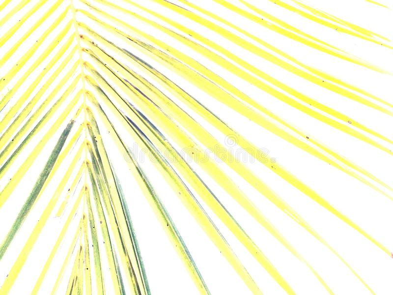 Texture of coconut frond isolated on white background royalty free stock photography