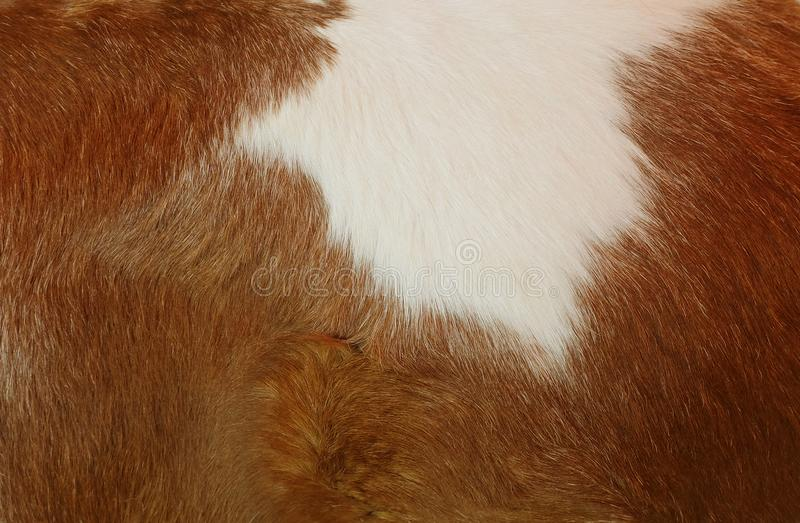 Texture of cow skin and wool. Background royalty free stock images