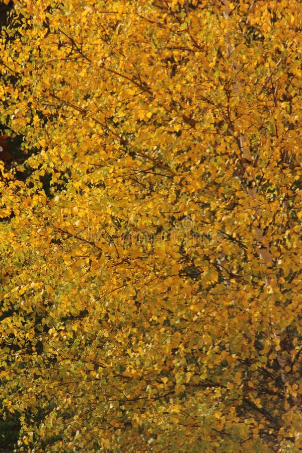 Texture crown of autumn yellowing of birch. The texture of the crown of autumn yellowing birch, bright autumn colors, sunlight royalty free stock photography