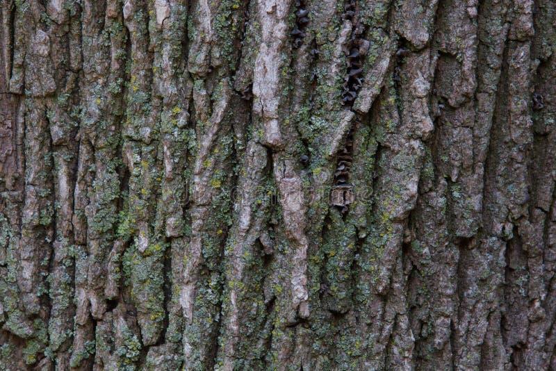 Texture d'écorce d'arbre d'érable photos stock
