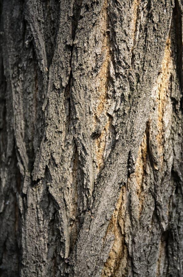 Texture d'écorce d'arbre photo stock