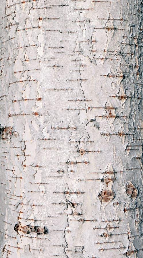 Texture d'écorce d'arbre de bouleau images stock