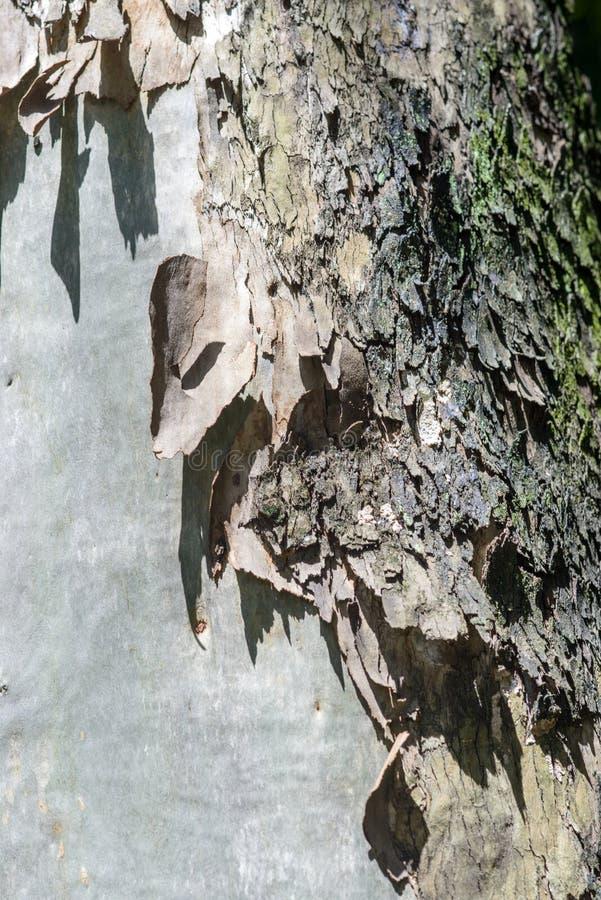 Texture d'écorce d'eucalyptus images stock