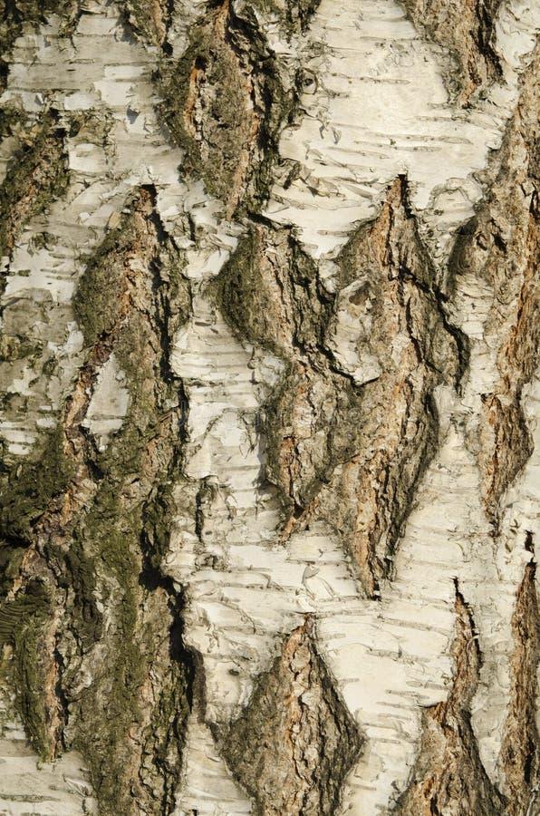 Texture d'écorce de bouleau image stock