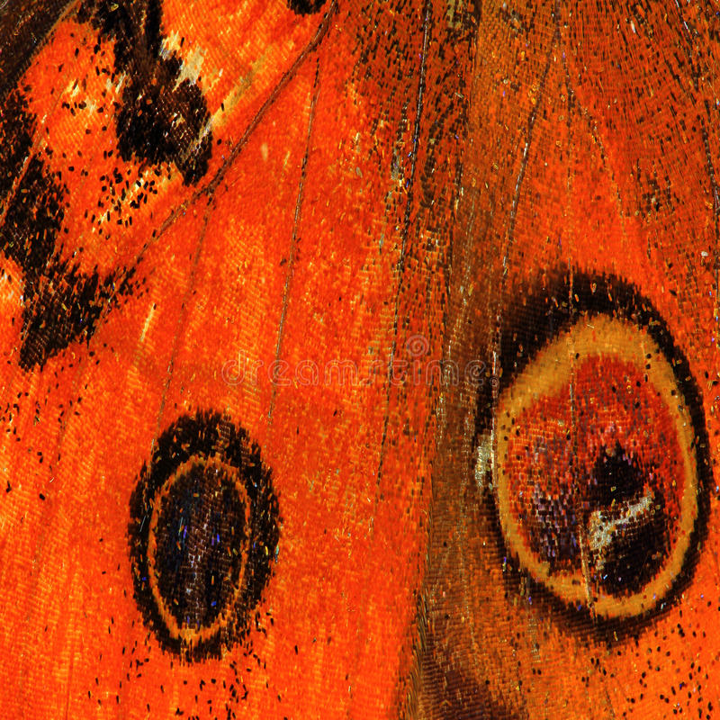 Texture d'aile de guindineau photo stock