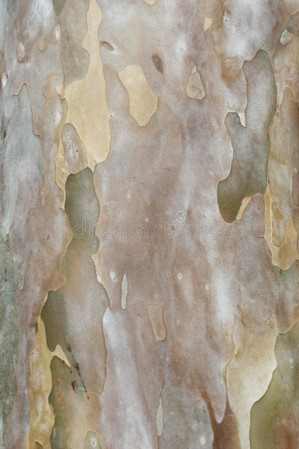 Texture d'arbre de goyave photos stock