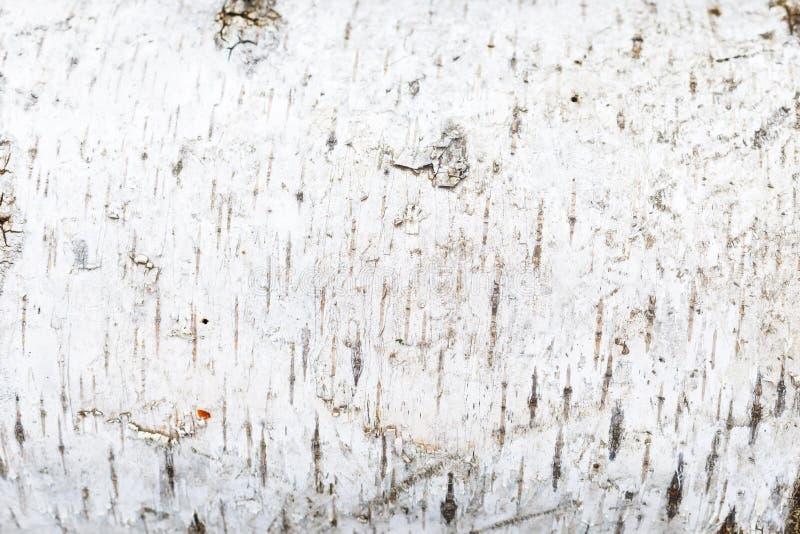 Texture d'?corce de bouleau blanc Plan rapproch? image stock