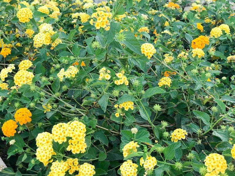 Texture d'un ensemble de petits wildflowers frais jaunes, d'usines avec de beaux pétales dans la perspective des feuilles vertes  photos libres de droits