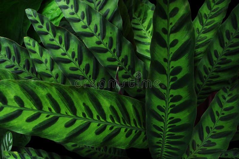 Texture d'usine de nature, usine tropicale Calath de serpent à sonnettes de feuillage photos libres de droits