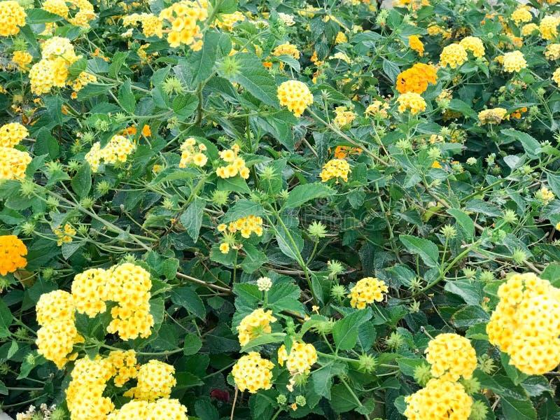 Texture de beaucoup de petits wildflowers frais jaunes avec de beaux pétales dans la perspective des feuilles et de l'herbe de ve images libres de droits