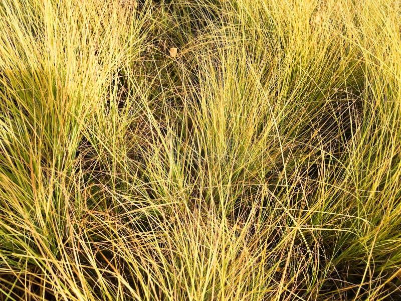 Texture de belle longue herbe naturelle peu commune pelucheuse mince verte Le fond photo libre de droits