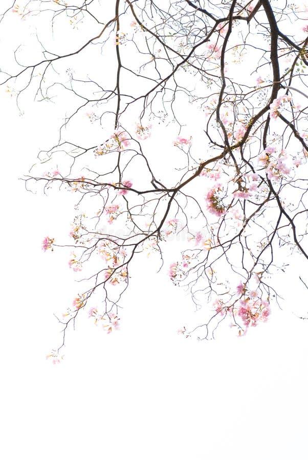 Texture de branche d'arbre et de fleur rose sur le fond blanc photographie stock libre de droits