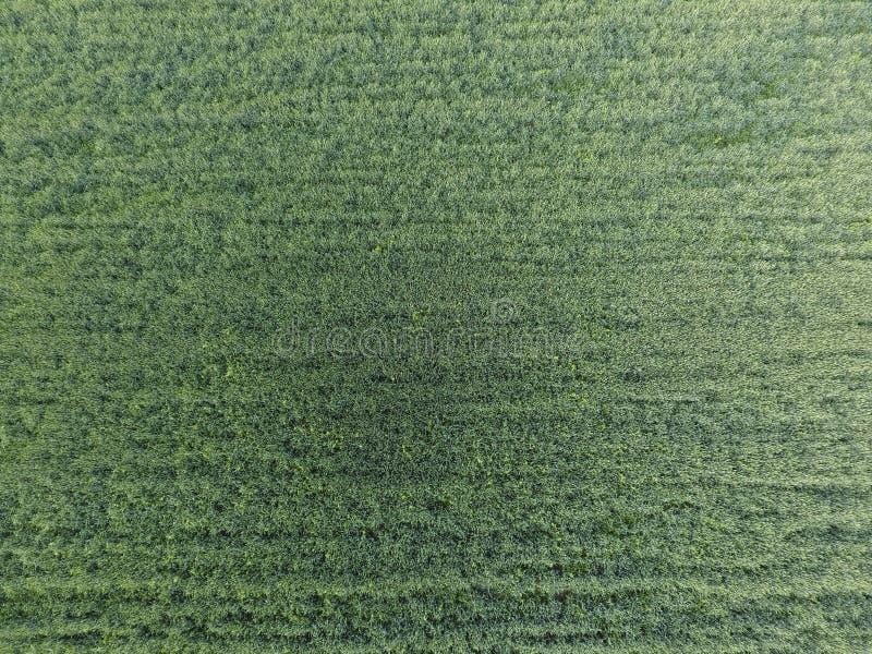 Texture de champ de blé Fond de jeune blé vert sur le champ Photo du quadrocopter Photo aérienne du champ de blé photo libre de droits