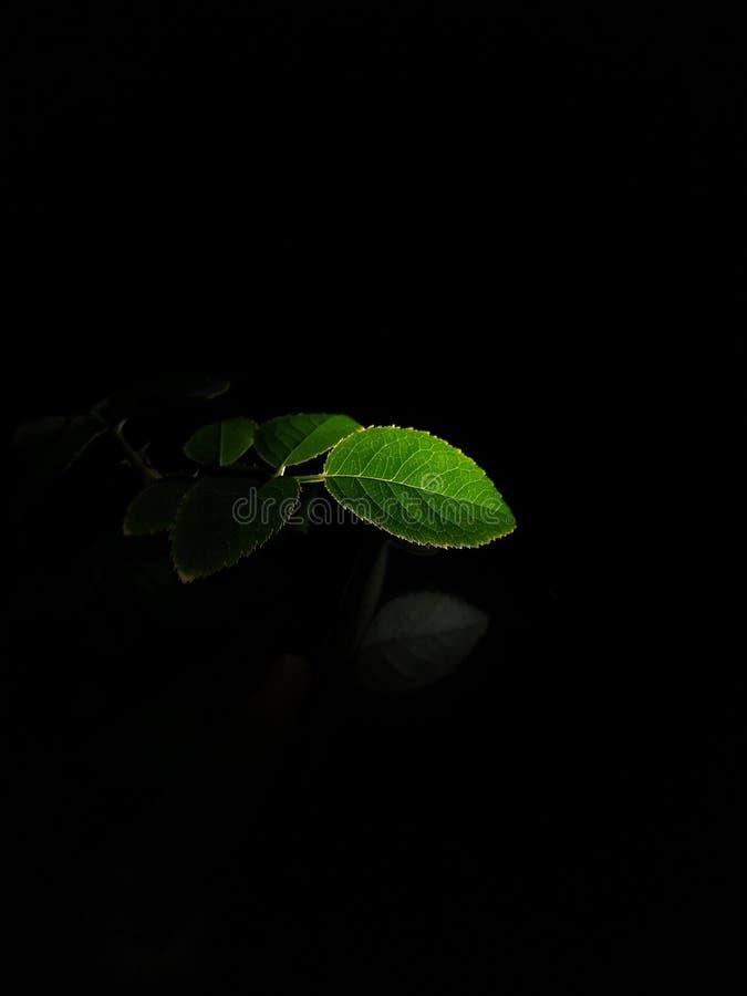 Texture de feuille avec le fond noir photographie stock