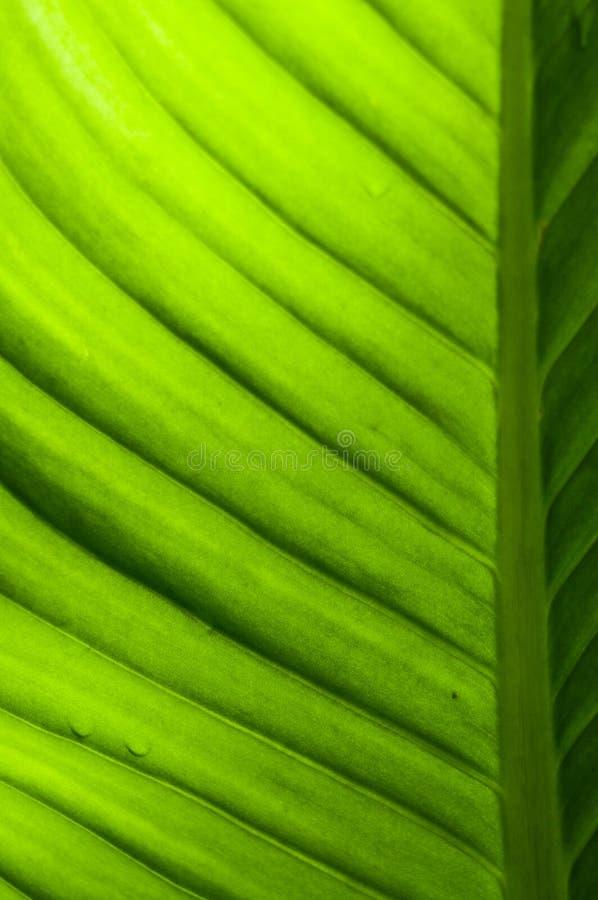 Texture de feuille de banane photo stock